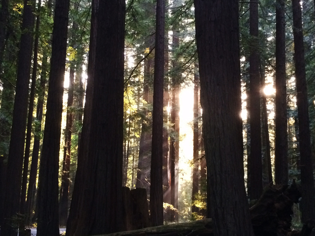 Humboldt National Park Redwoods